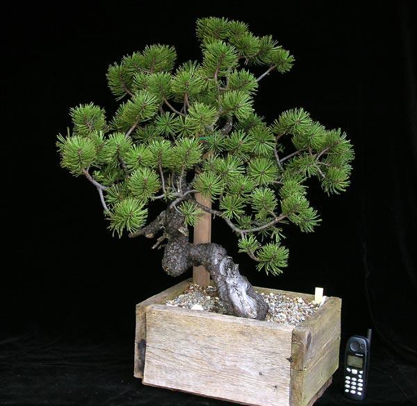 Bonsai Webseite Von Putz Wolfgang